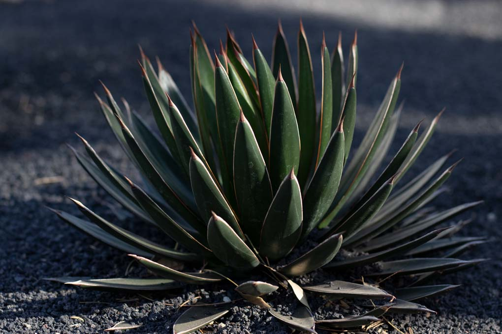 Agave Ocahoi in the specimen bed.
