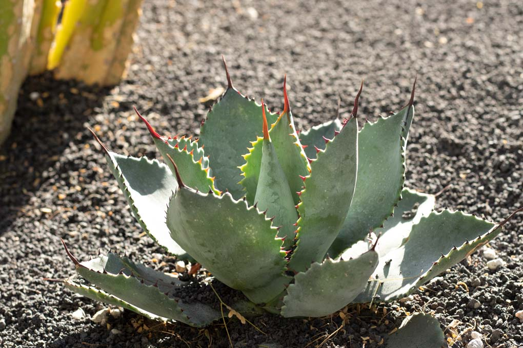 Agave Pygmeae Gentry in the specimen bed.